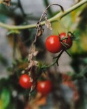 19_tomates_cerisesJCharles_Vaillant