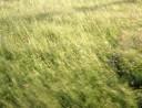 Le vent dans l'herbe